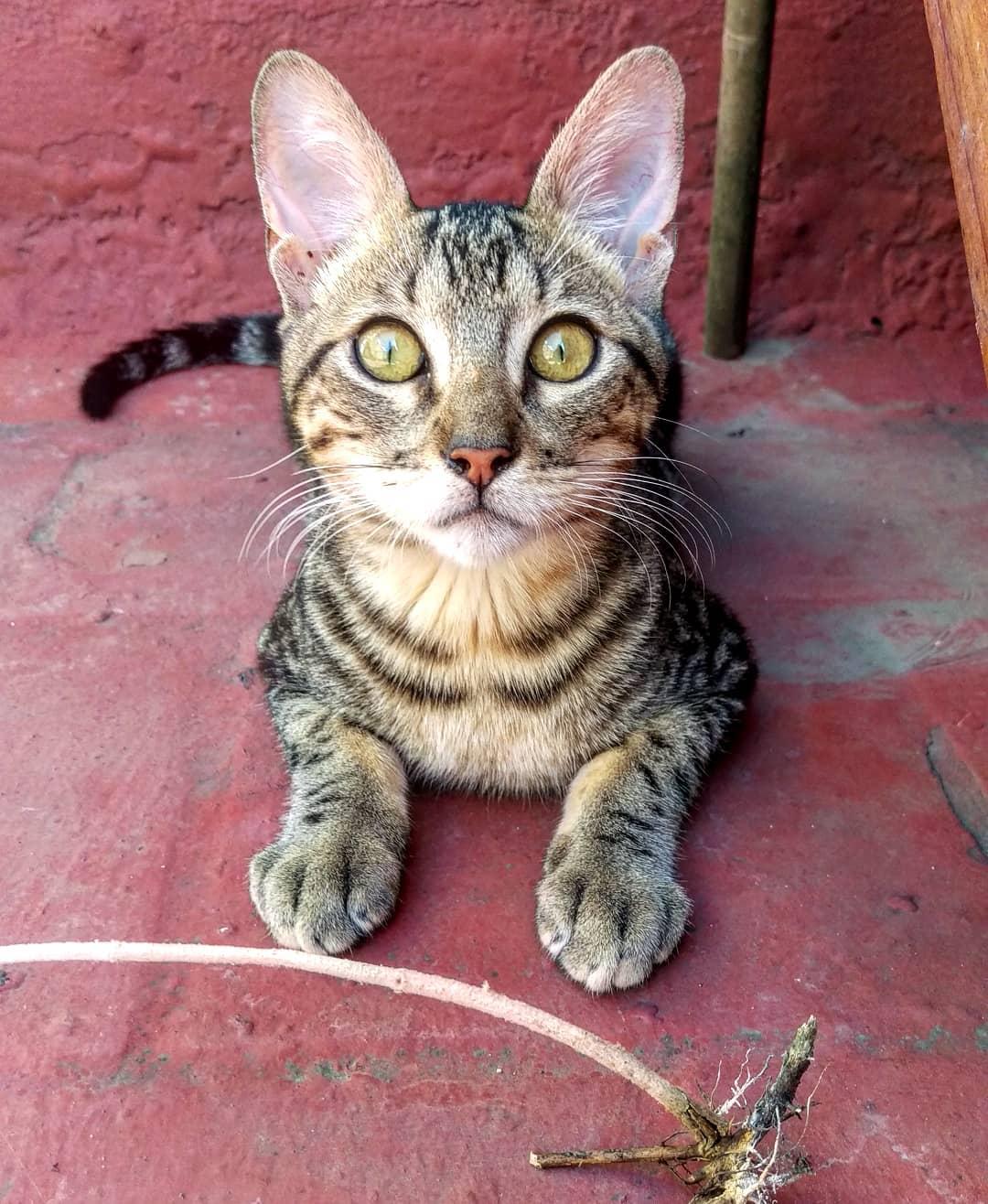 Bệnh nôn mãn tính ở mèo - Nguyên nhân và cách chữa trị