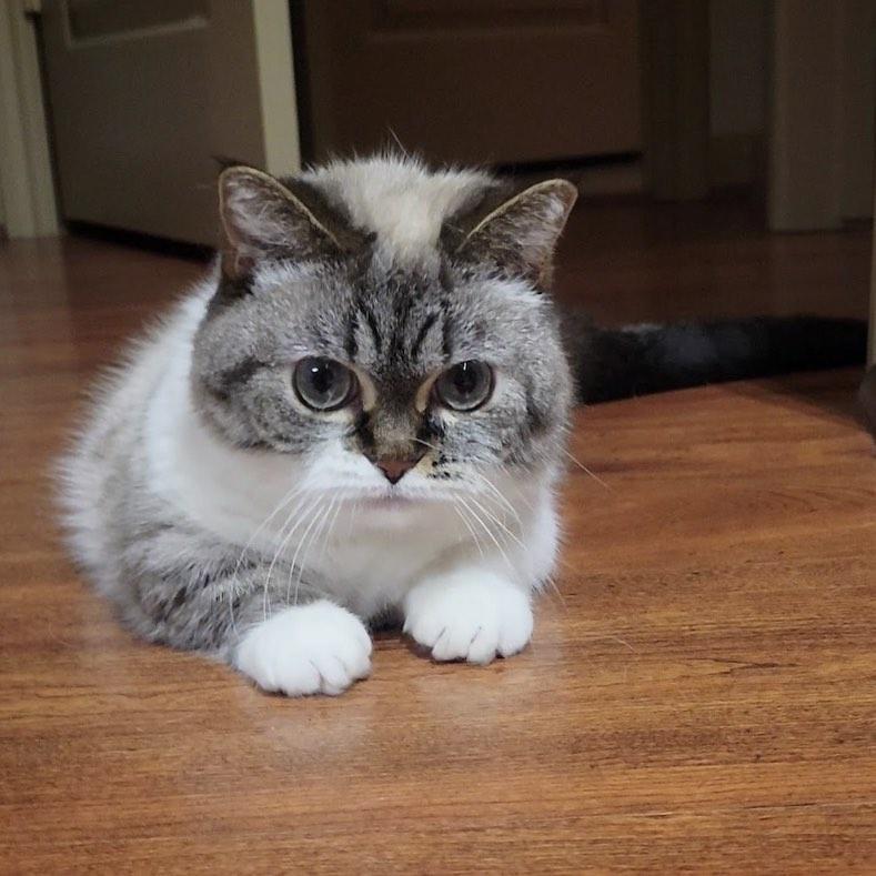 Cách nuôi và chăm sóc mèo Munchkin