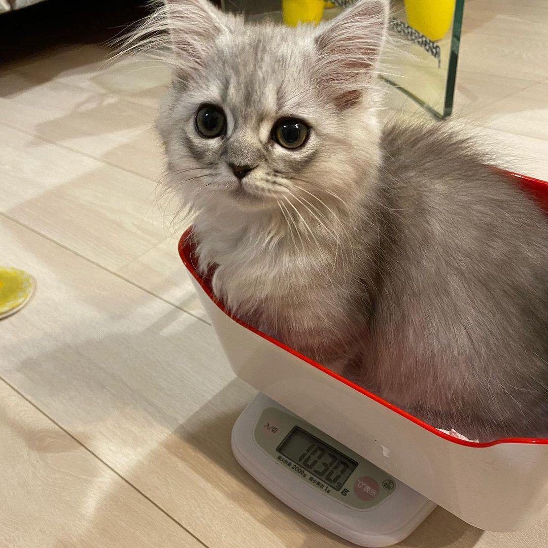 """Mèo Napoleon (Minuet) - Chú mèo có khuôn mặt được ví như """"búp bê"""""""