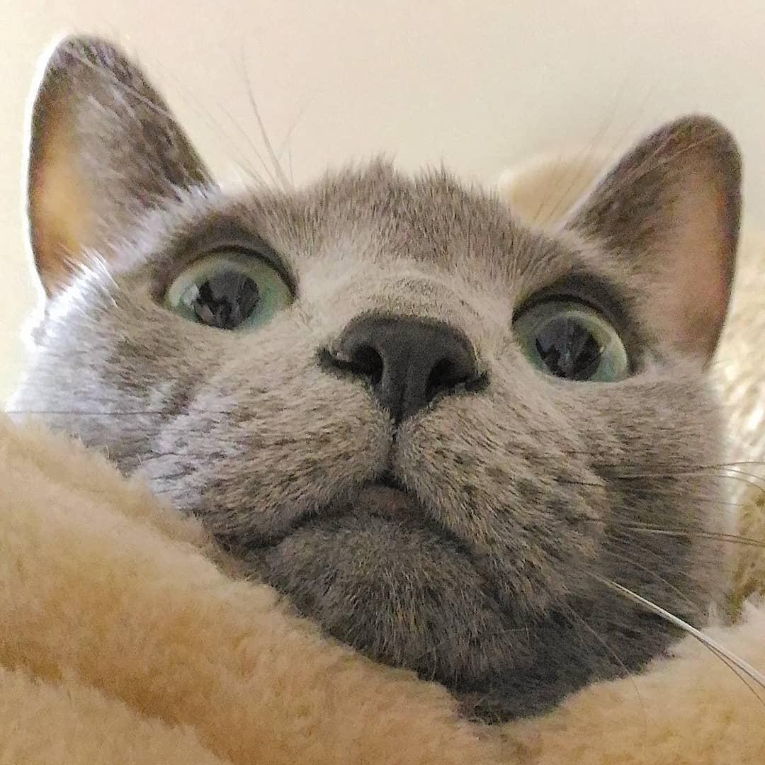 Bảng giá Mèo Nga Mắt Xanh và Cách lựa chọn