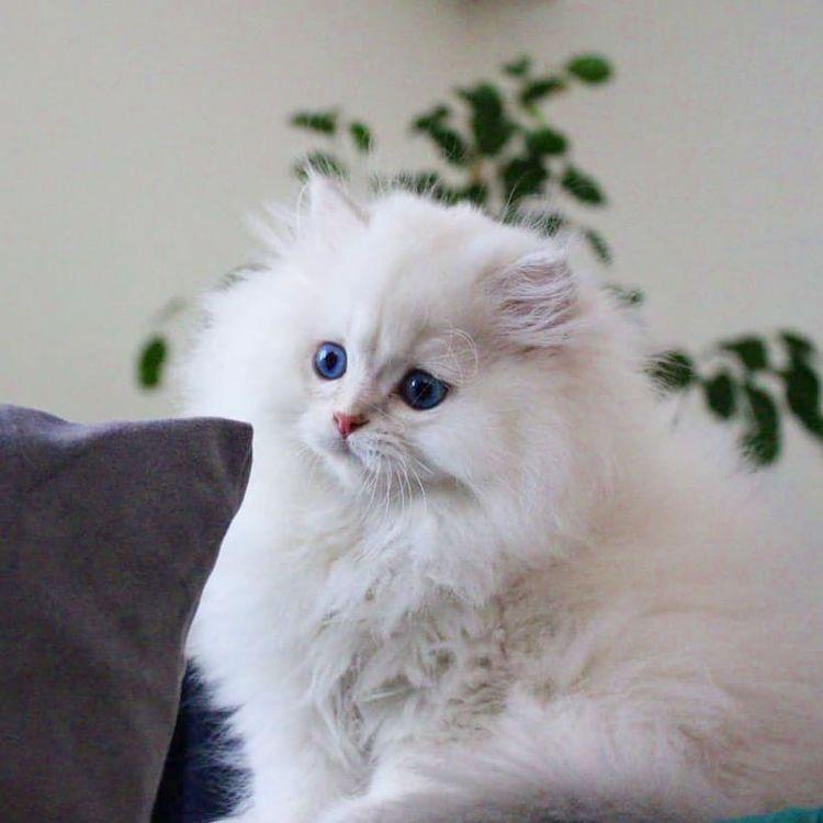 Bệnh điếc ở mèo - Nguyên nhân và cách chữa trị