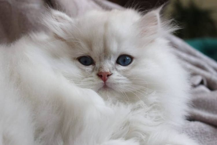 Giảm căng thẳng cho mèo khi đi khám bệnh