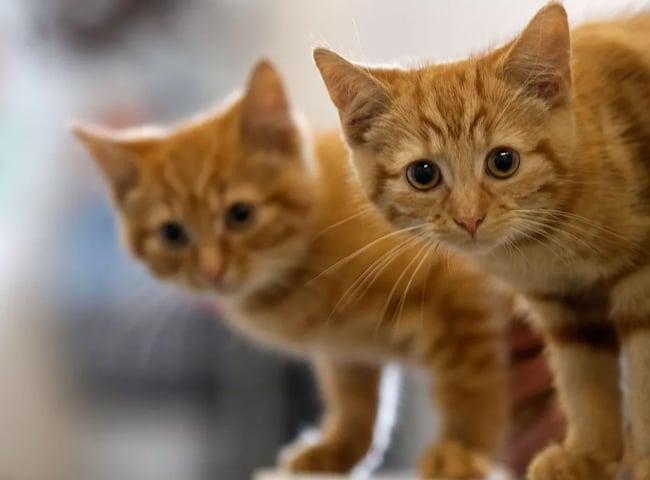 Giun đũa ở mèo là gì? Các triệu chứng và điều trị