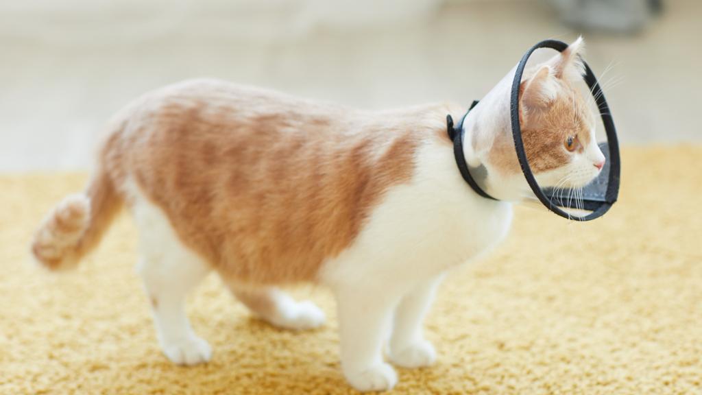 Bệnh hắc lào ở mèo - Triệu chứng, nguyên nhân và cách điều trị