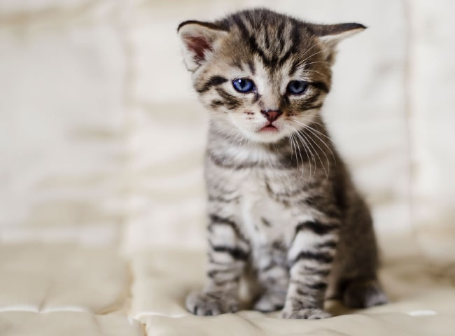 Hướng dẫn cách xử lý khi mèo con mắc bệnh đường ruột