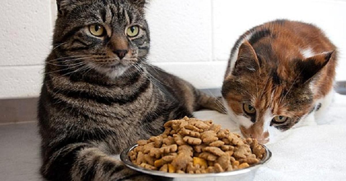 Tiết lộ 5 loại thức ăn khô cho mèo? Mua ở đâu giá rẻ?