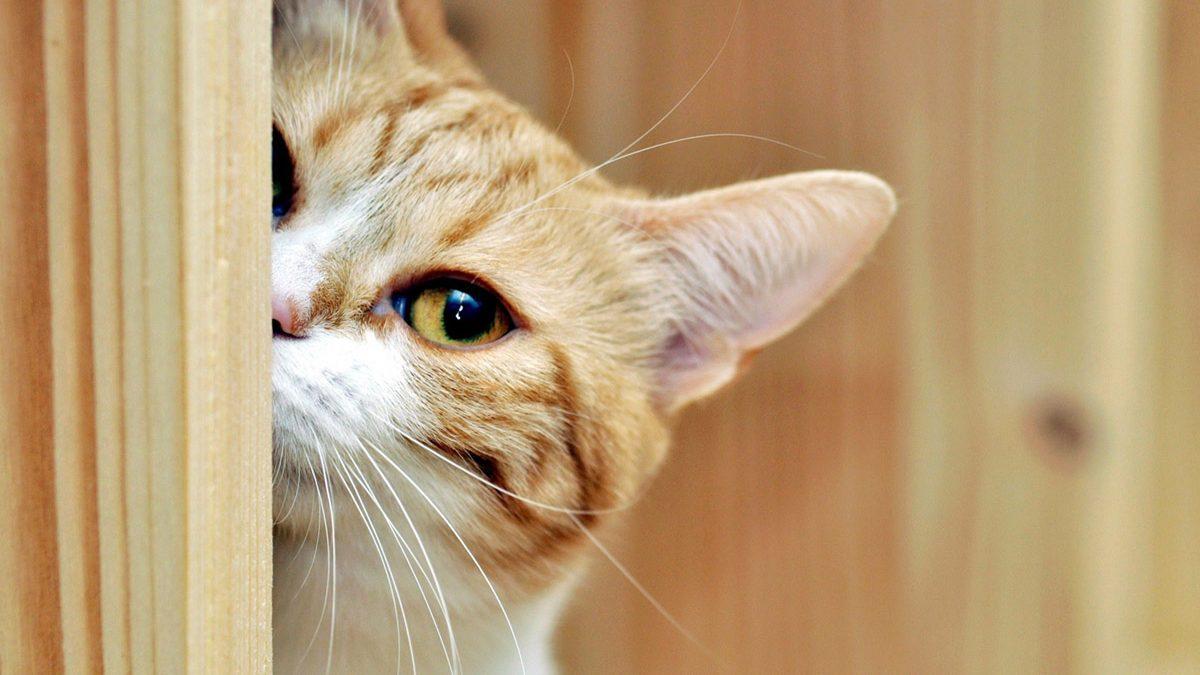 Mèo có kinh nguyệt không?