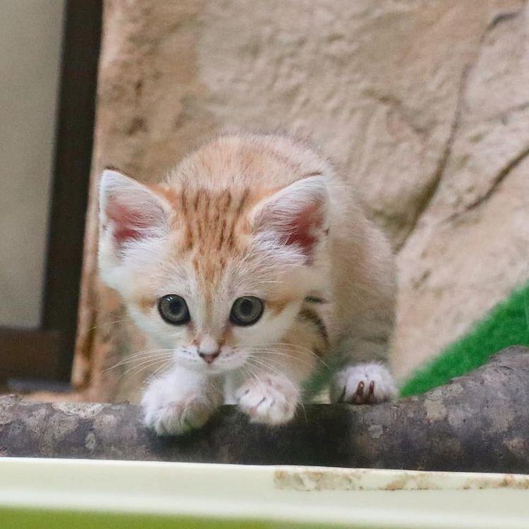 Mèo cát Ả Rập - Bí ẩn sau 10 năm tìm kiếm