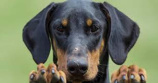 Tại sao cần phải cắt tai chó Doberman?
