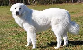 Chó Great Pyrenees: dòng dõi lâu đời