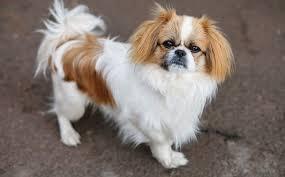 Chó Bắc Kinh lai Nhật - Những điều bạn nên biết khi mua những chú chó con này