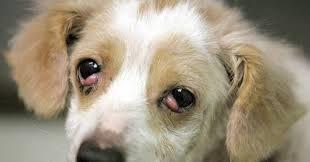 Chó bị mộng thịt