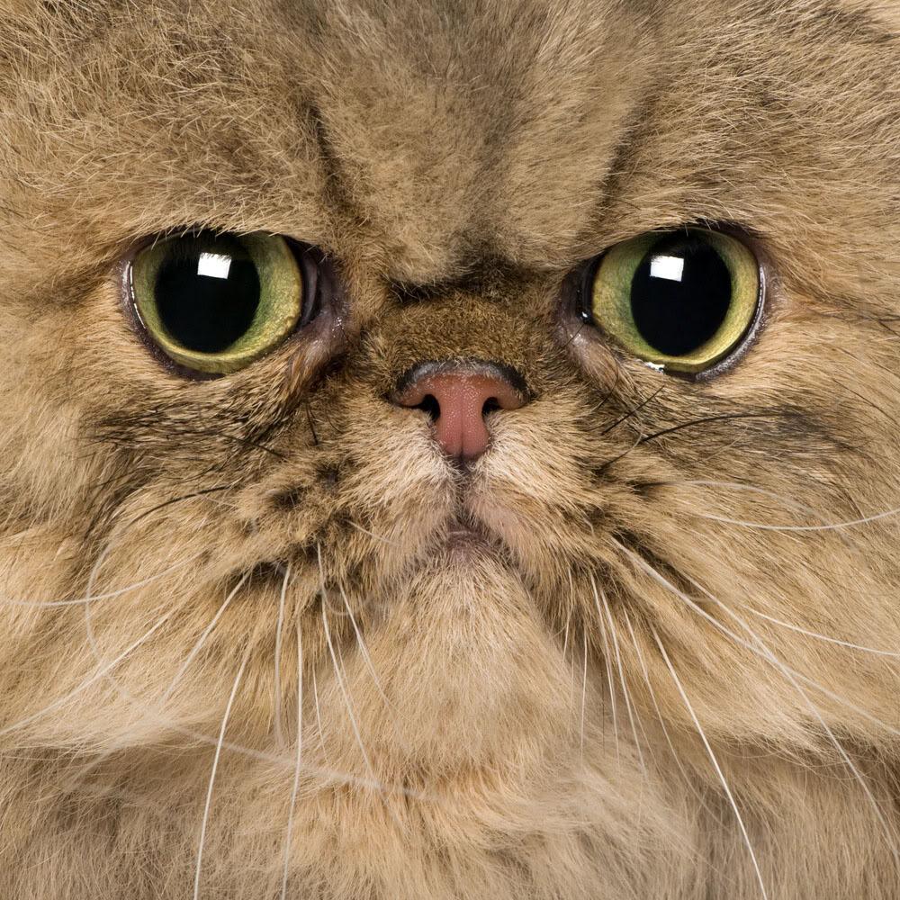 0207 REDSVN Cat Persian 24