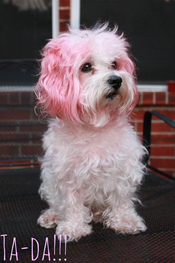 Nhuộm lông cho thú cưng có tốt không?