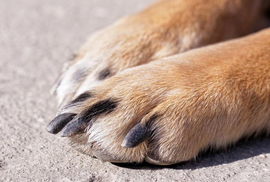 Chân chó và những tác dụng đặc biệt