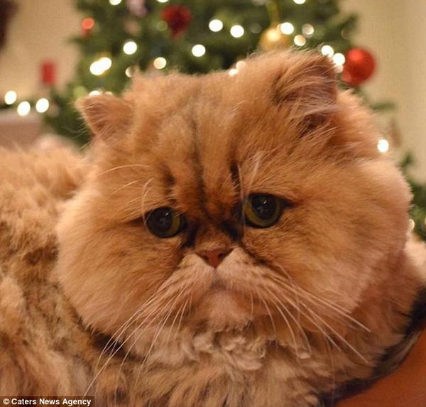 Mèo Buttercup với khuôn mặt của người thất tình