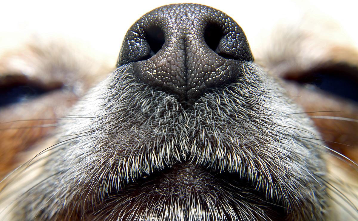 Tại sao mũi chó luôn ướt?