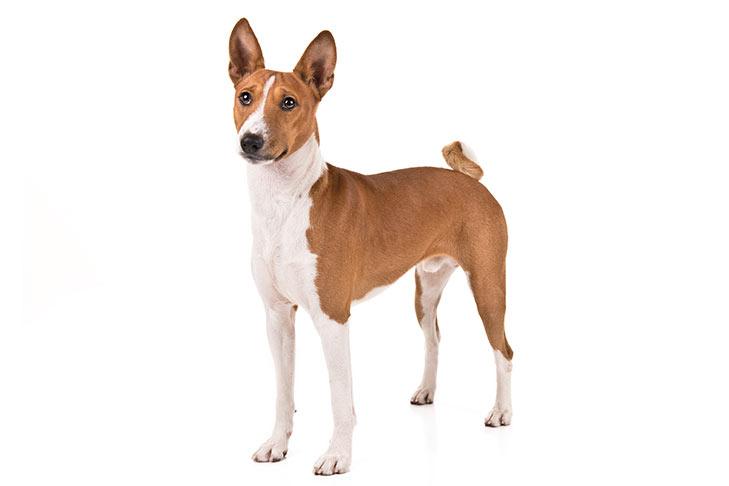 Giống chó săn Basenji - Giống chó không bao giờ thay sủa