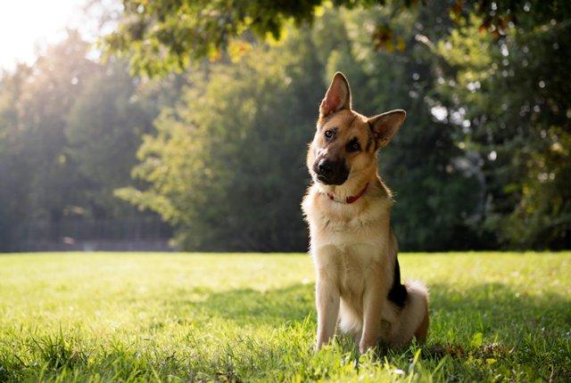 Tại sao chó cưng nghiêng đầu khi nghe?