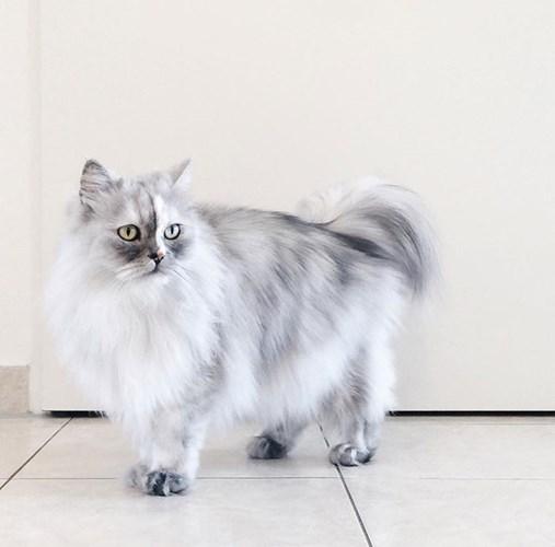 Alice - nữ hoàng mèo Ba Tư