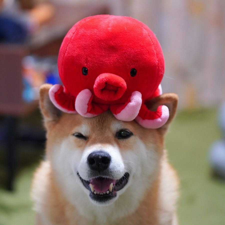 Marutaro - Chú chó nổi tiếng nhất trên Instagram