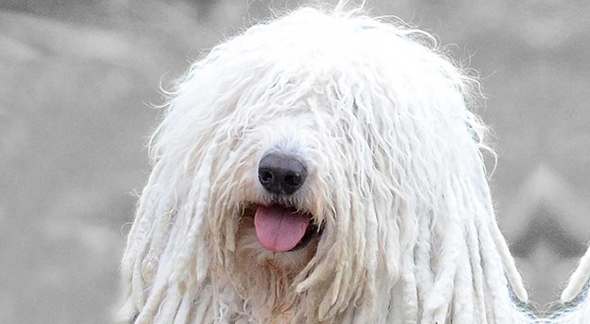 Giống chó Komondor - Giống chó khổng lồ có ngoại hình giống cây lau nhà
