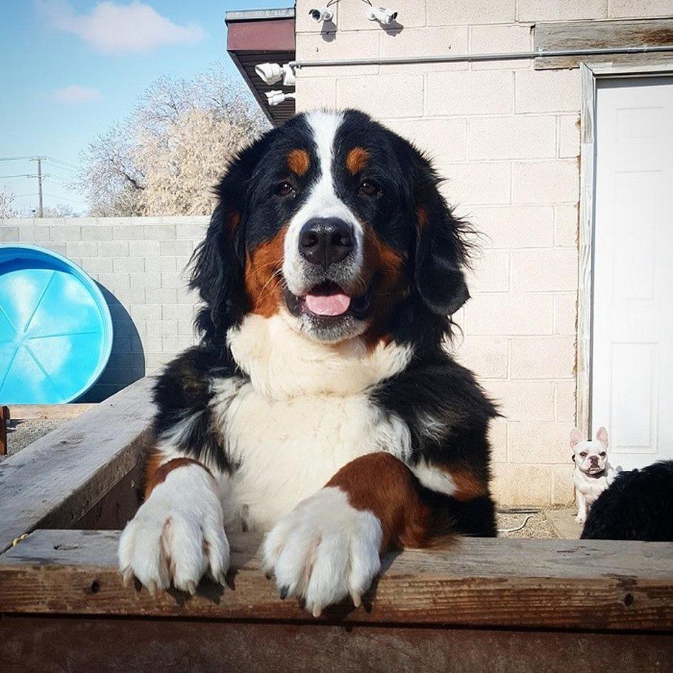 2009 3 bernese mountain dog 1567667858790274181306