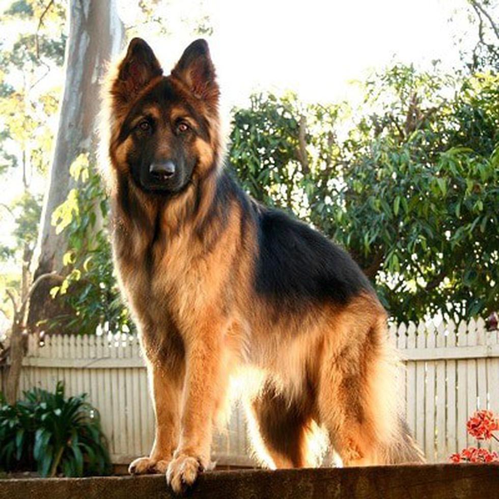2009 4 german shepherd 1567667858794391087745
