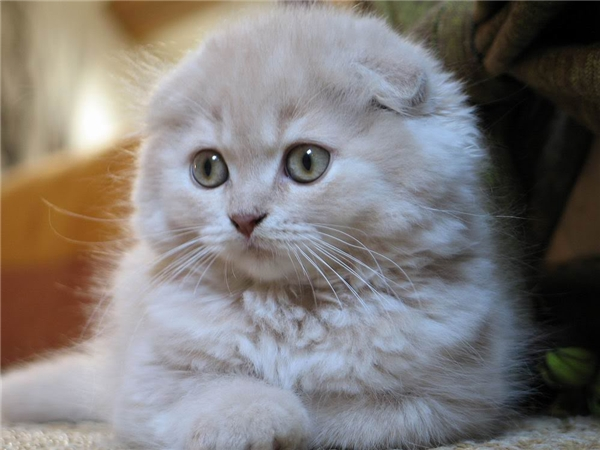 20151015 011041 redsvn cat scottishfold