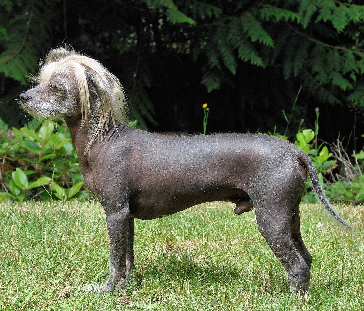 Nguồn gốc của giống chó quan mao Trung Quốc