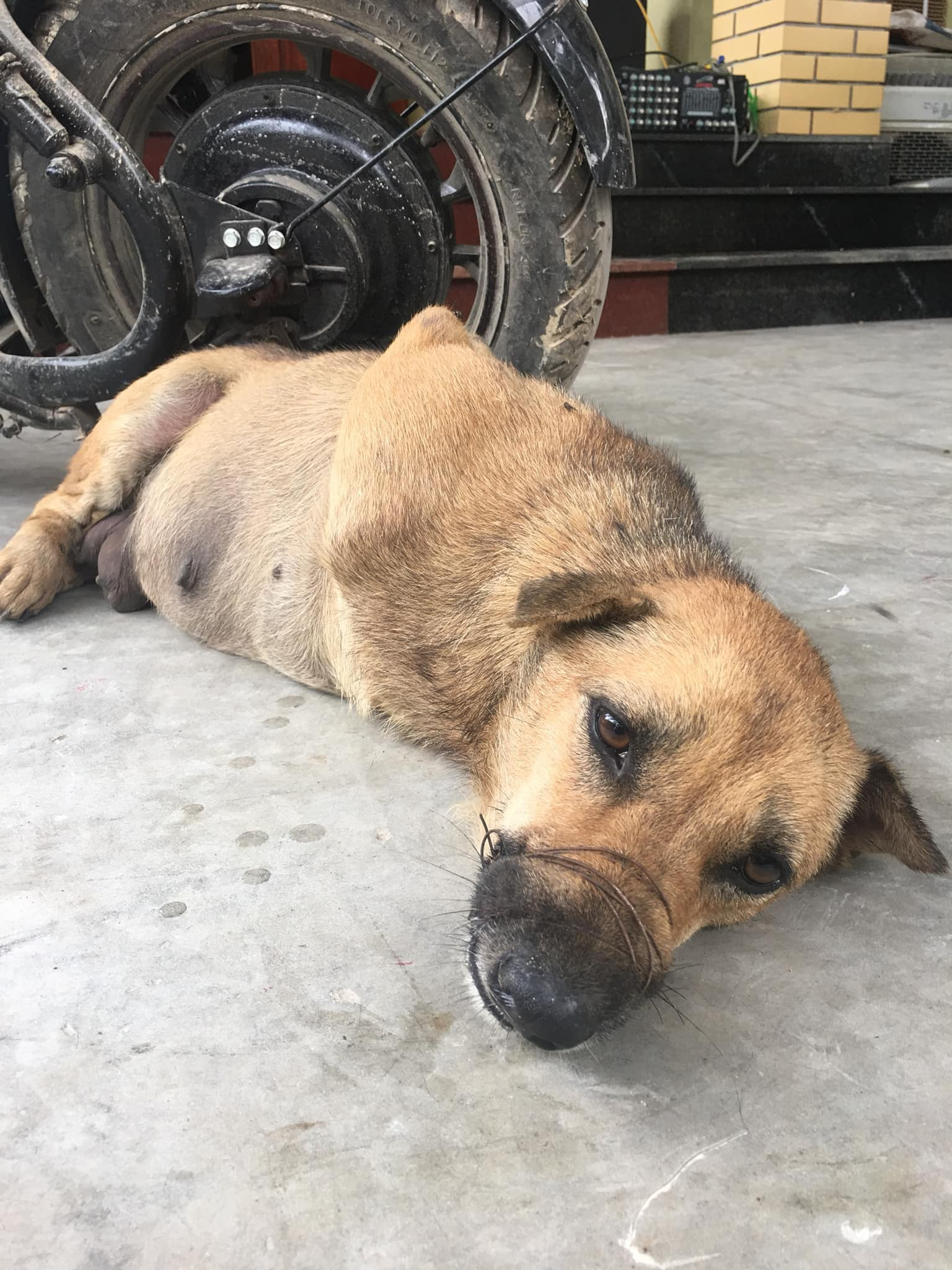 Hình ảnh chú chó bị trói chân, rọ mõm trước khi bị giết thịt