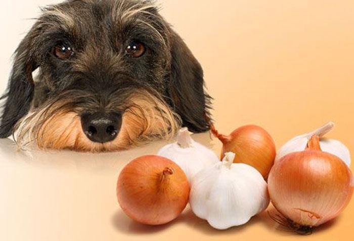 Có nên cho chó ăn tỏi không?