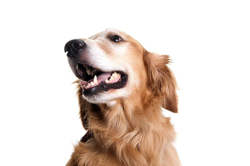 Lấy cao răng cho chó tại nhà: Nên hay không?
