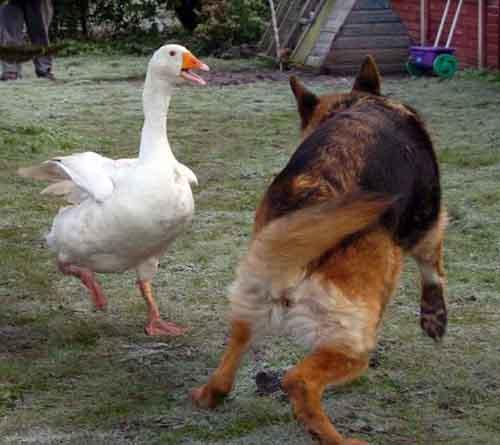 Chuyện tình kỳ lạ giữa chú chó và cô ngỗng