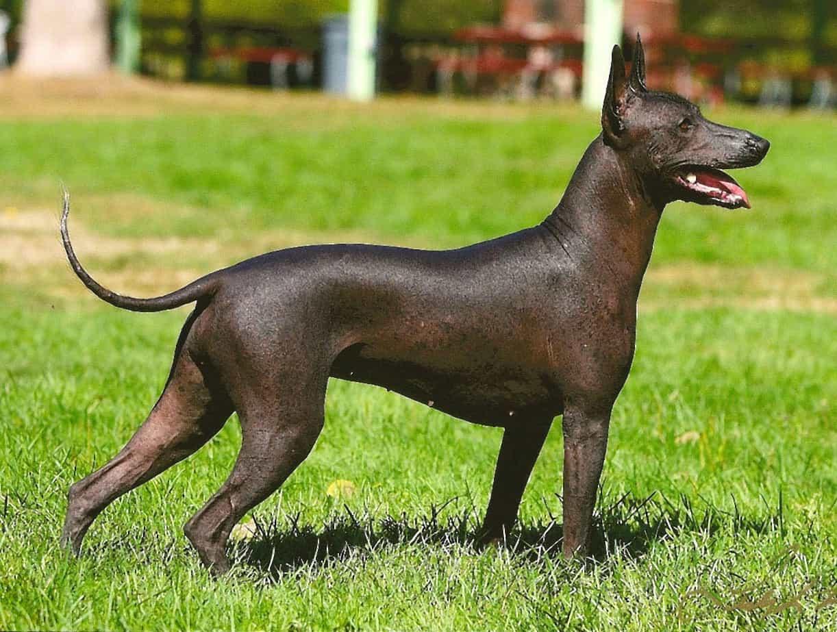 Top 5 giống chó không lông kỳ lạ phổ biến nhất