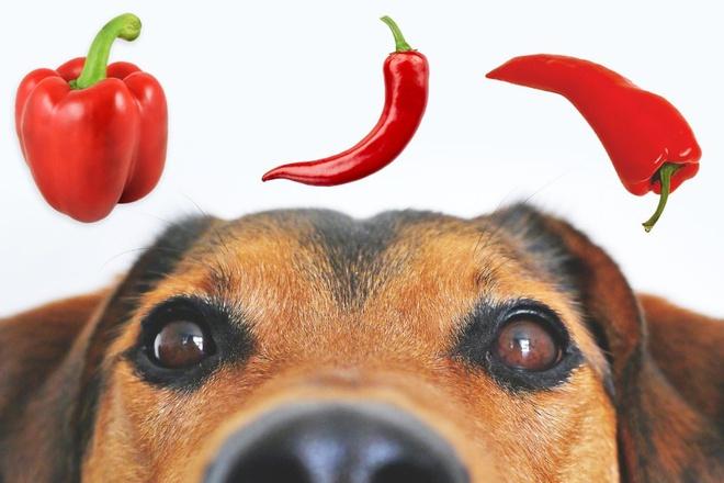 Cho chó ăn ớt chuông được không?