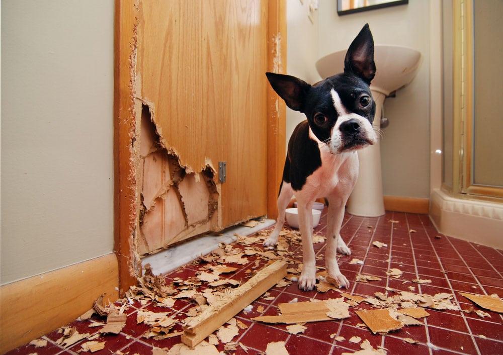 Mẹo khiến cún cưng không cắn phá đồ nội thất