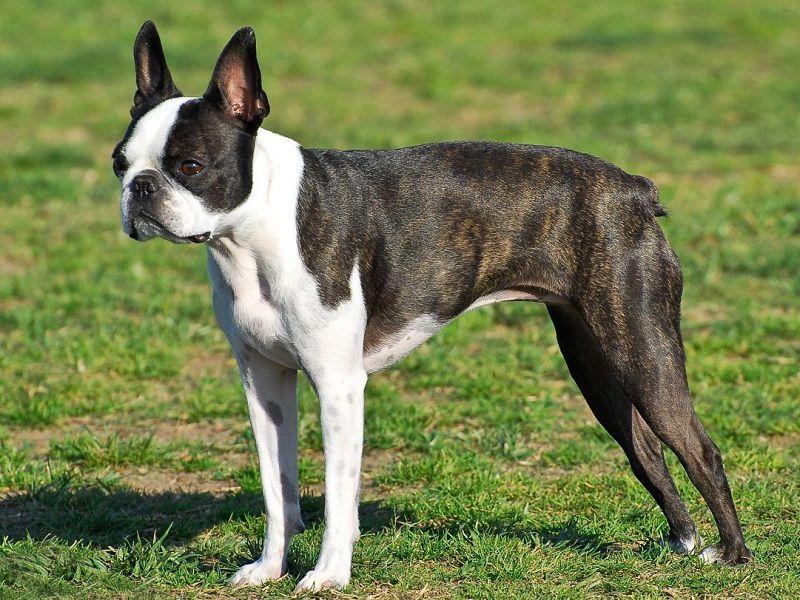 boston terrier 1