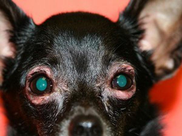 Bệnh viêm bờ mi ở chó - Nguyên nhân và cách chữa trị