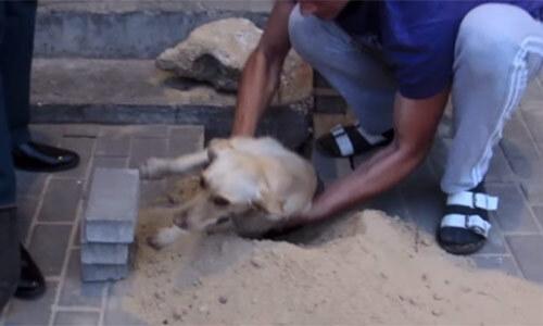 Giải cứu chú chó mang thai bị chôn vùi trong lòng đất