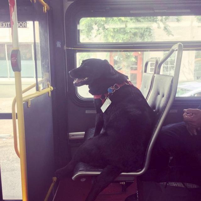 Cách vận chuyển chó đi xa bằng xe buýt?