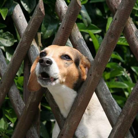 Hiện tượng chó hú về đêm là bệnh gì?